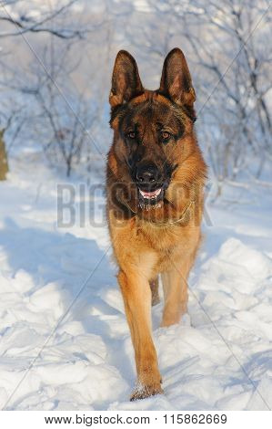 German Shepherd Dog On Winter Background