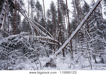 Fallen Trees In A Pine Forest.