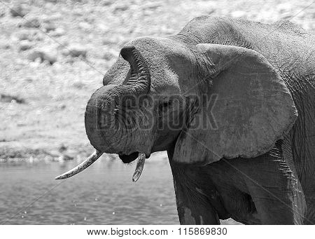 Isolated elephant with his trunk held high