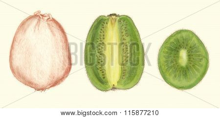 Kiwi fruit botanical drawing