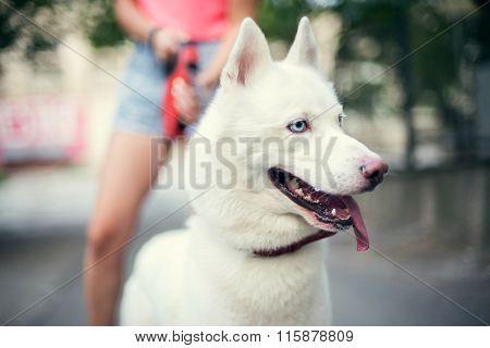 White Husky Puppy Eskimo Dog Staying Near Owner Outdoor