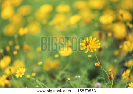 Background Of Yellow Daisy