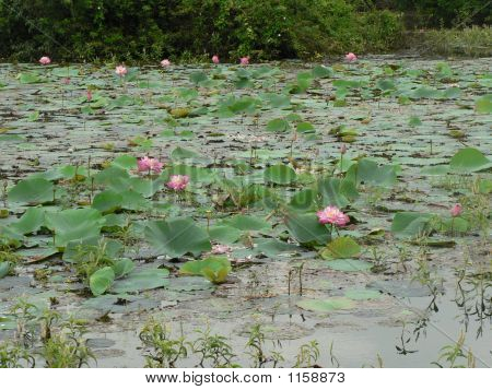 A Pond Full With Lotus Flowers