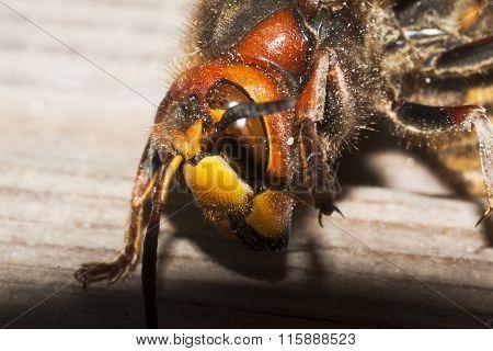 a giant hornets face