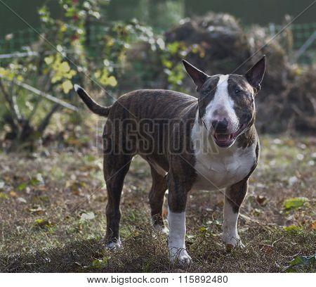 dog breed bull Terrier