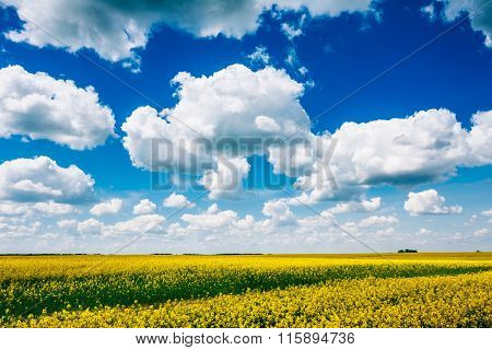 Early Summer, Flowering Canola,  Rape, Rapeseed, Oilseed Field U