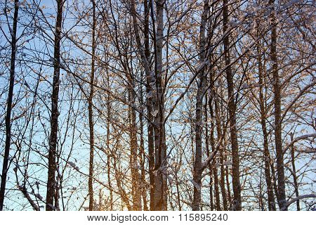 the falling snow with birch trees