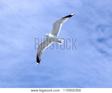 Mediterranean White Seagull