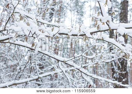 Trees Covered With Snow. Forest In Winter.