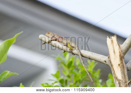 one chameleon on branch in front home