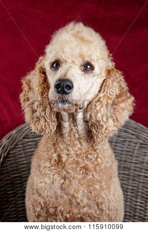 Poodle Portrait In Studio