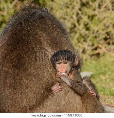 Baby Chacma Baboon Portrait