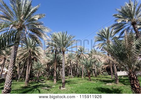 Palm Trees In An Oasis, Oman