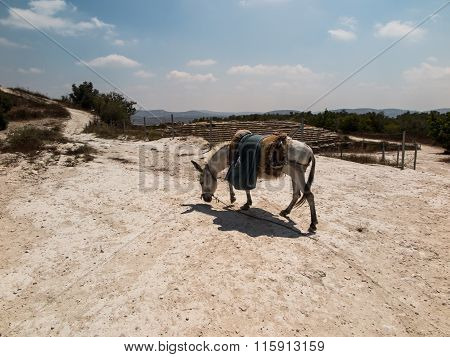 The Donkey Saddled Resting Prepared For Transport. Land Biblical Holy Land,