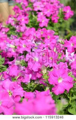 petunia flower in garden