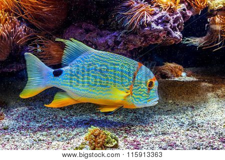 Colorful tropical exotic fish swimming among reefs close to the bottom.
