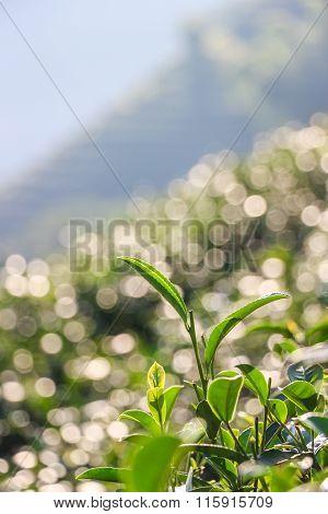 Close Up Top Tea Leaves