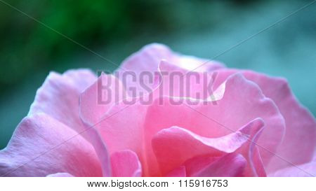 Pink Rose In Letterbox Macro