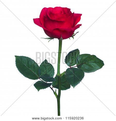 Single Red Rose  Isolated  Background