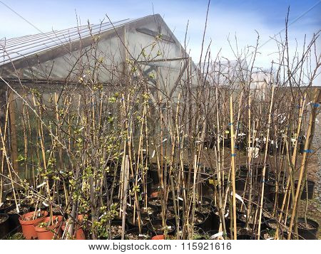 Saplings of fruit trees near the greenhouse in pots in the early spring.