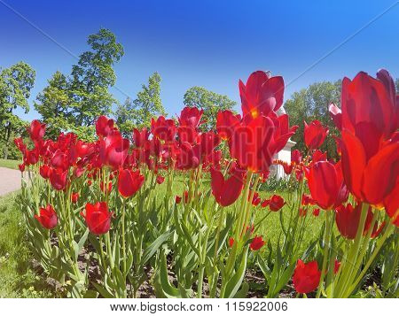 The bright red blossoming tulips in a sunny day
