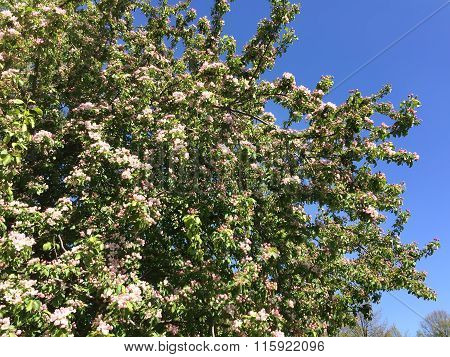 The blossoming apple tree with pink flowers on the blue sky background