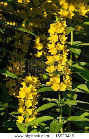 Lysimachia Vulgaris Closeup