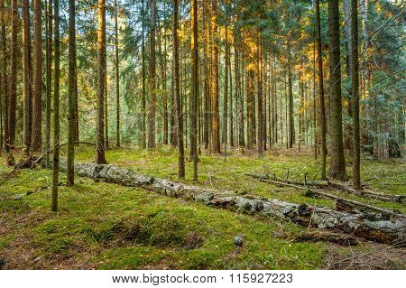 Fallen trees in green coniferous forest reserve