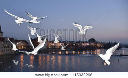 Seagulls on Vltava river in Prague