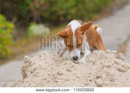 Basenji dog in hunting stage
