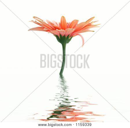Flor color de rosa. Reflexión