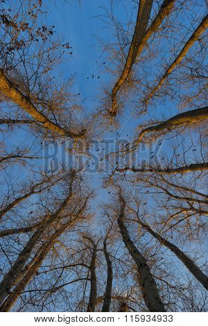 Trees Covered With Frost And Crows Over Them. Winter Sunset