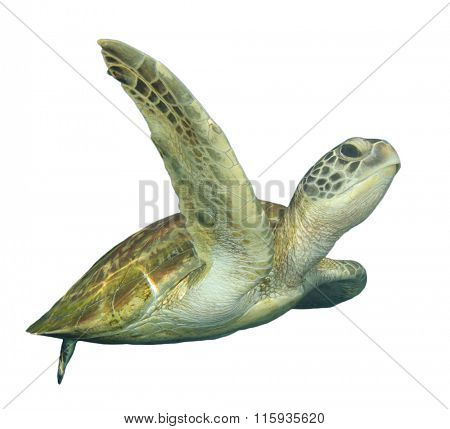 Green Sea Turtle (Chelonia mydas) isolated white background cut out