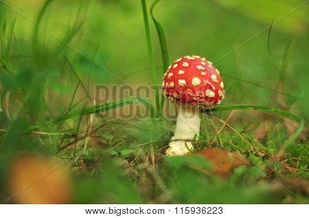 Toxic mushroom - Amanita