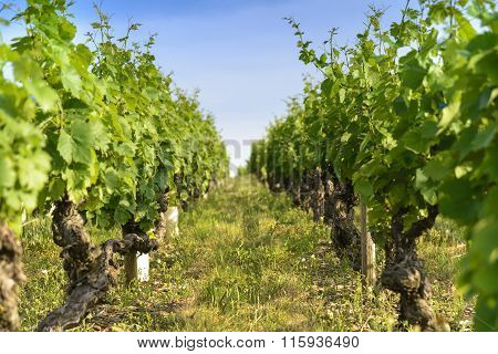 Into A Field Of Vineyards