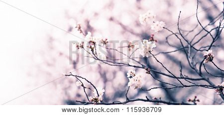 Cherry blossom of an old cherry tree fading in to white. Intentionally shot in muted tone. Shallow depth of field. Focus on forehand bloom of cherry blossom.