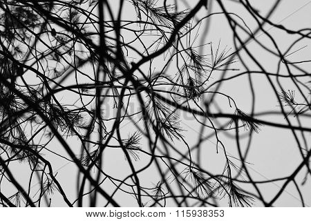 Pine Tree Rain Drops