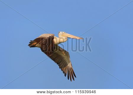 Close up shot flying Pelican bird