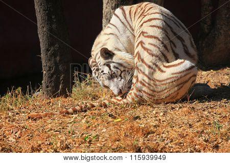 White tiger in the safari