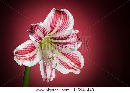 Hippeastrum, amaryllis bloom