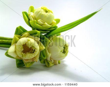 Lotus Flower 03