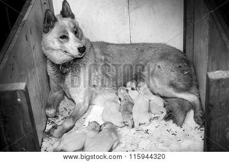Female Husky Dog And Family