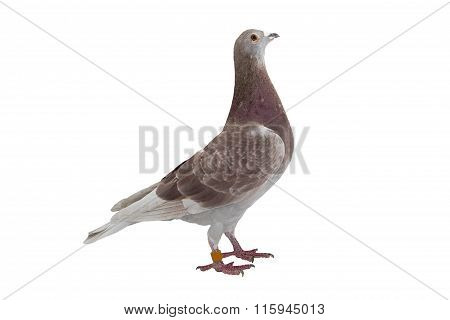 Red sport pigeon isolated on white