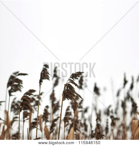 Winter Fields Of Bulrush