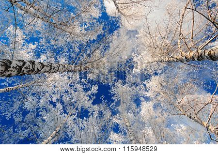Snow covered tree tops in winter against blue sky