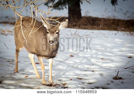 Canadian Mule Deer In The Snow