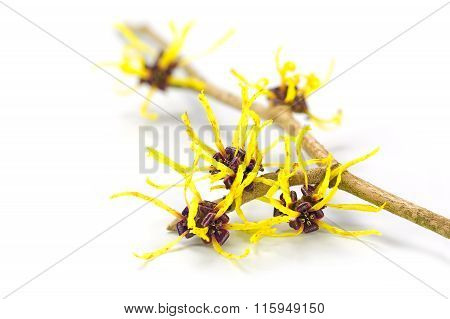 Flowers Of Witch Hazel, Medicinal Plant Hamamelis, Isolated On White
