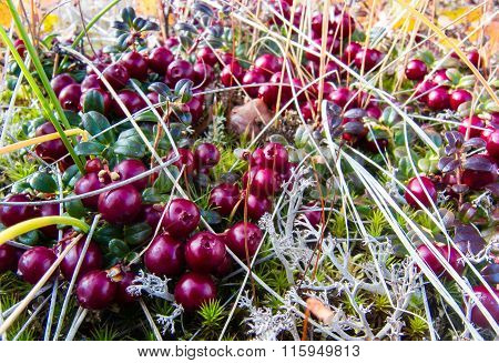 Lingonberries (low-bush Cranberries)