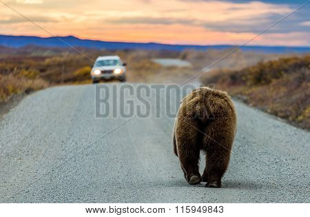 Mooned By A Grizzly Bear