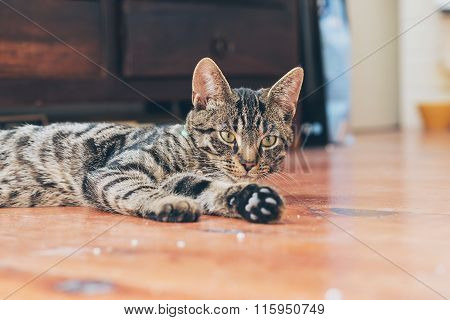 Lazy Young Tabby Cat Lying On Wooden Floor In House.